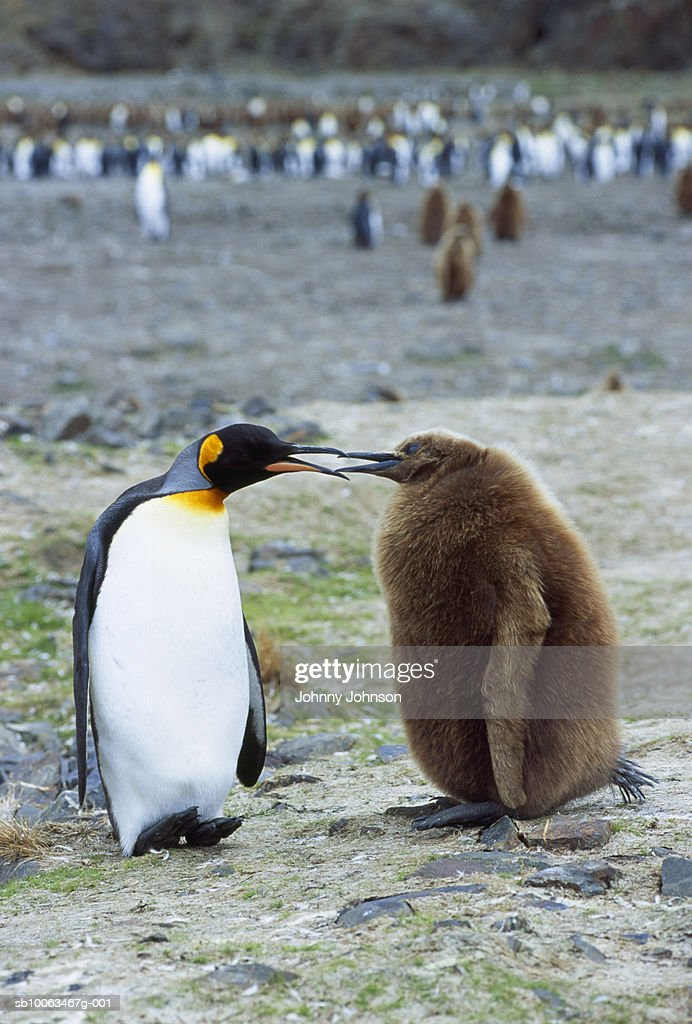Adult king penguin interacting with one-year old chick : Stock Photo