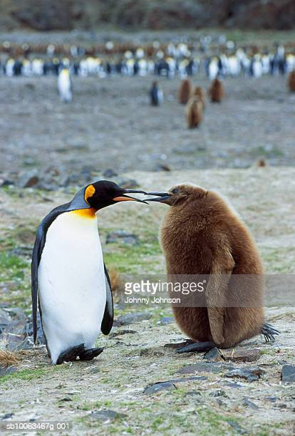 adult king penguin interacting with one-year old chick - day old chicks stock photos and pictures
