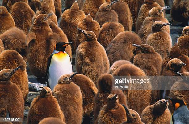 Adult king penguin (Aptenodytes patagonicus) surrounded by chicks