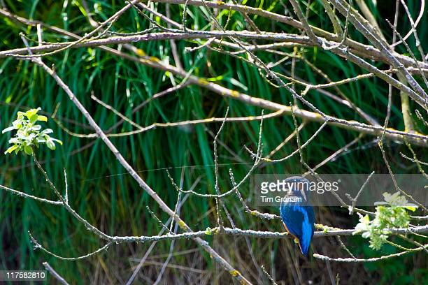 Adult kingfisher on tree branch river scene Gloucestershire
