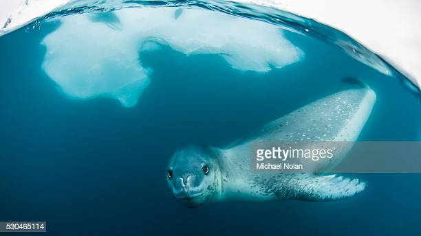 Adult leopard seal (Hydrurga leptonyx) inspecting the camera above and below water at Damoy Point, Antarctica, Polar Regions