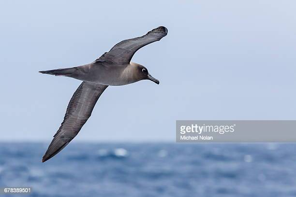 Adult light-mantled sooty albatross (Phoebetria palpebrata) in flight in the Drake Passage, Antarctica, Polar Regions