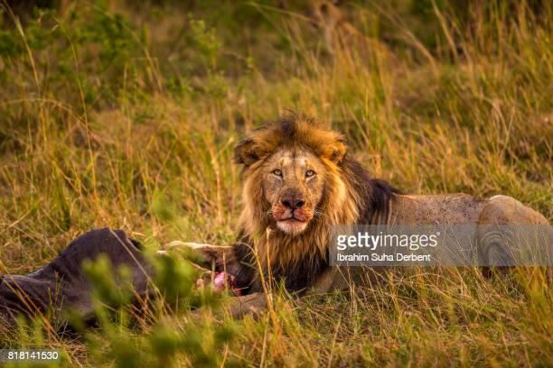 Adult lion is looking to camera with his bloody face