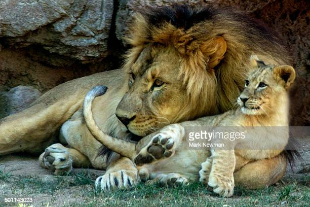 adult lion with baby - lion cub stock photos and pictures