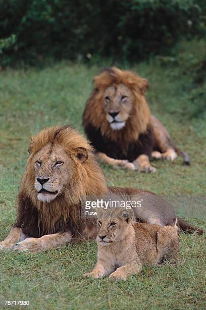 Adult Lions with Cub in Grass