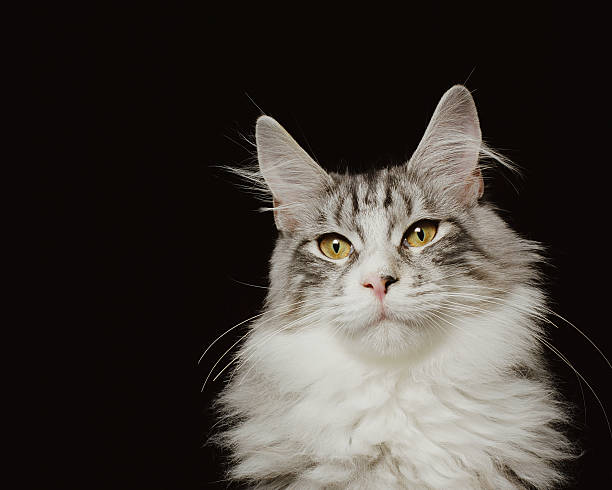 Adult Maine Coon Cat, Close-up Wall Art