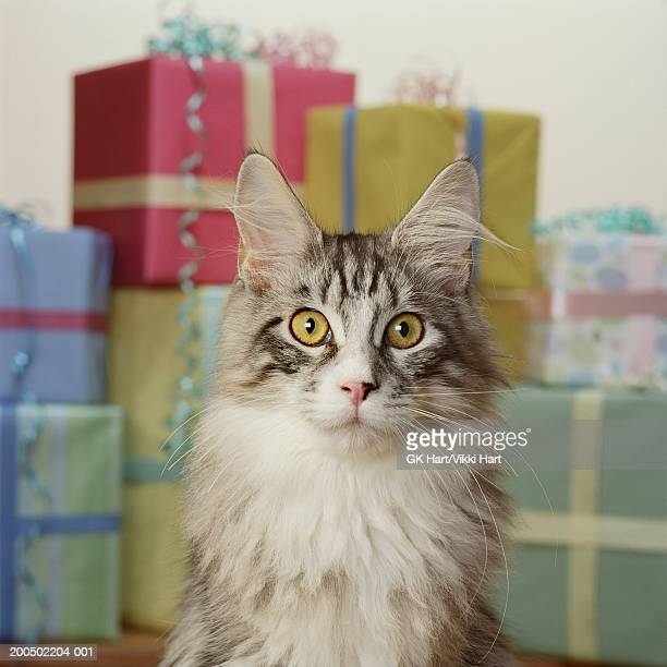 Adult Maine Coon Cat in front of stack of presents