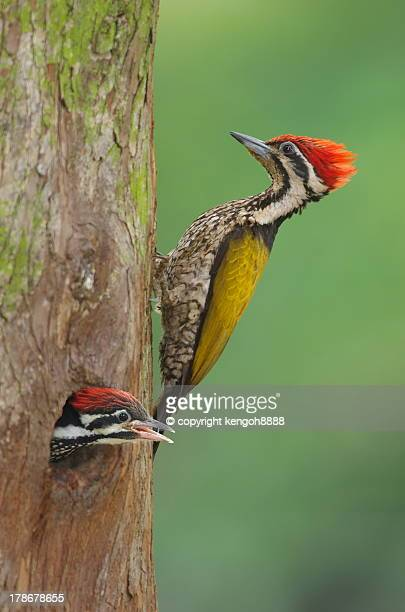 Adult male and baby male common flameback woodpeck