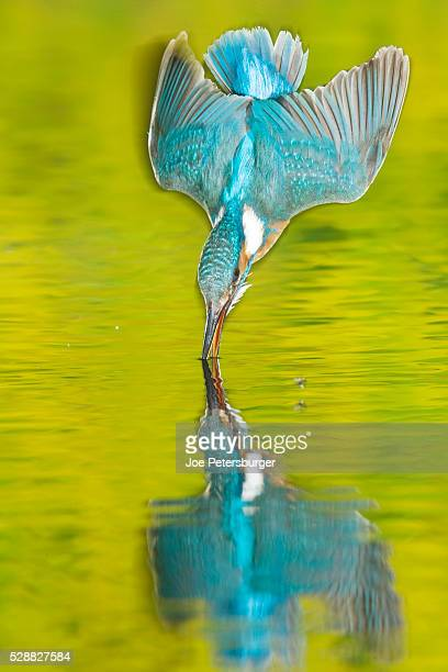 adult male common kingfisher dives into the water to catch fish - common kingfisher stock photos and pictures