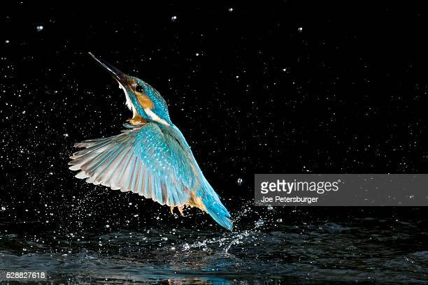 Adult male common kingfisher emerging from water after an unsuccessful hunt