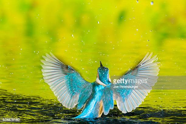 adult male common kingfisher emerging from water after an unsuccessful hunt - common kingfisher stock photos and pictures