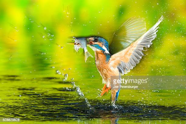 Adult male common kingfisher emerging from water with fish