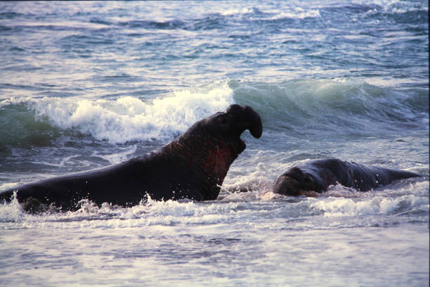 Adult Male Elephant Seals Fight for Territory