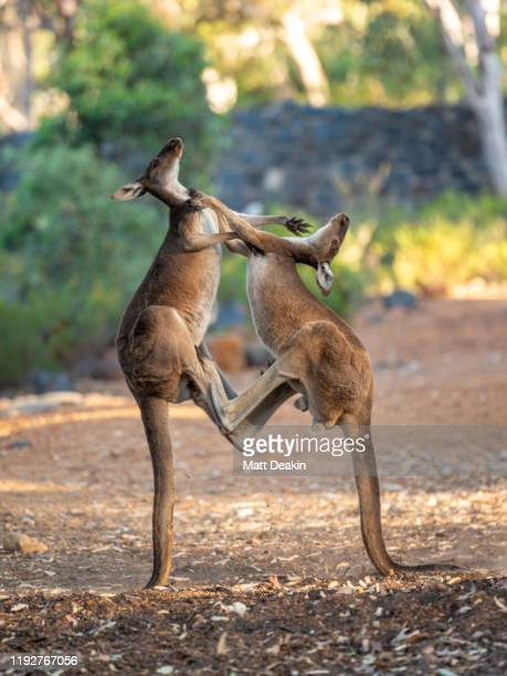 2 adult male kangaroos kicking each other - kangourou photos et images de collection