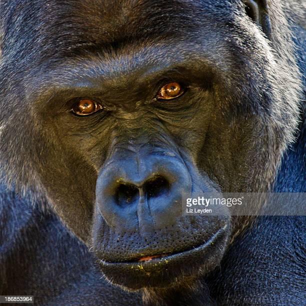 Hombre adulto gorila de las llanuras stares atentamente a la cámara