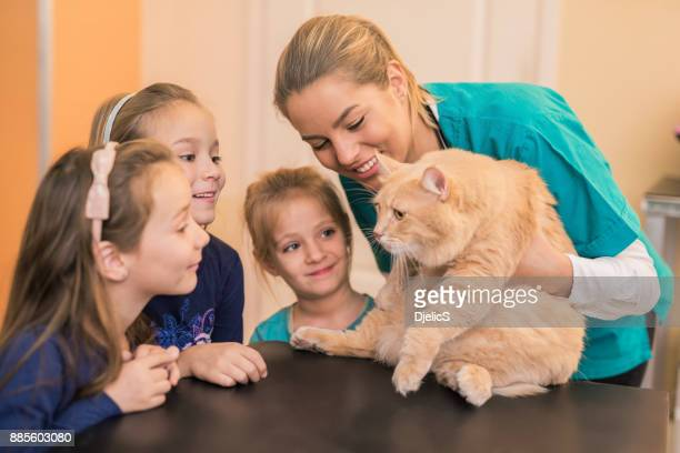 adult male maine coon cat on the visit to the veterinarian. - male animal stock pictures, royalty-free photos & images
