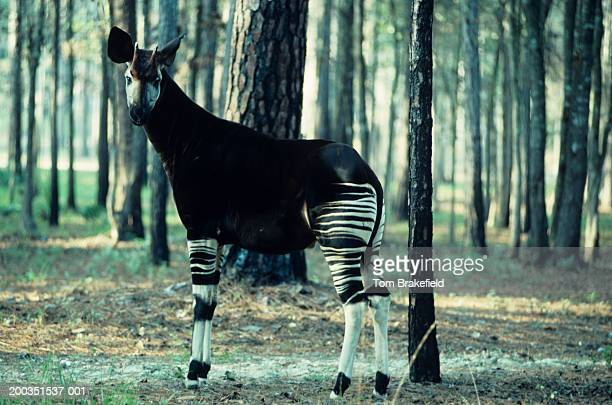 adult male okapi in forest, africa - okapi stock pictures, royalty-free photos & images