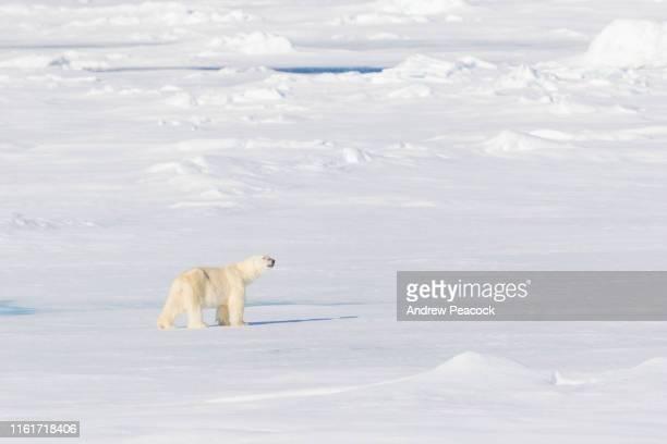 volwassen mannelijke ijsbeer op pak ijs - pakijs stockfoto's en -beelden
