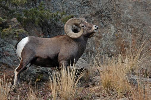Rocky Mountain Ram