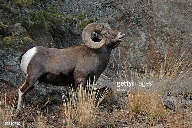 adult male rocky mountain bighorn ram - ram animal stock photos and pictures