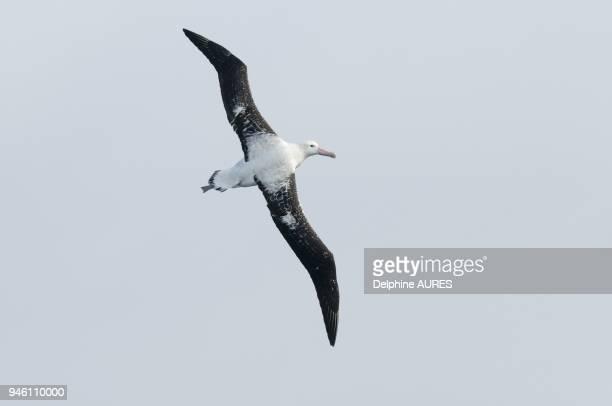 Adult Male Tristan Albatross In Flight.