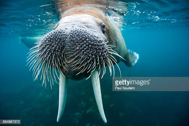 adult male walrus, lagoya, svalbard, norway - whisker stock pictures, royalty-free photos & images