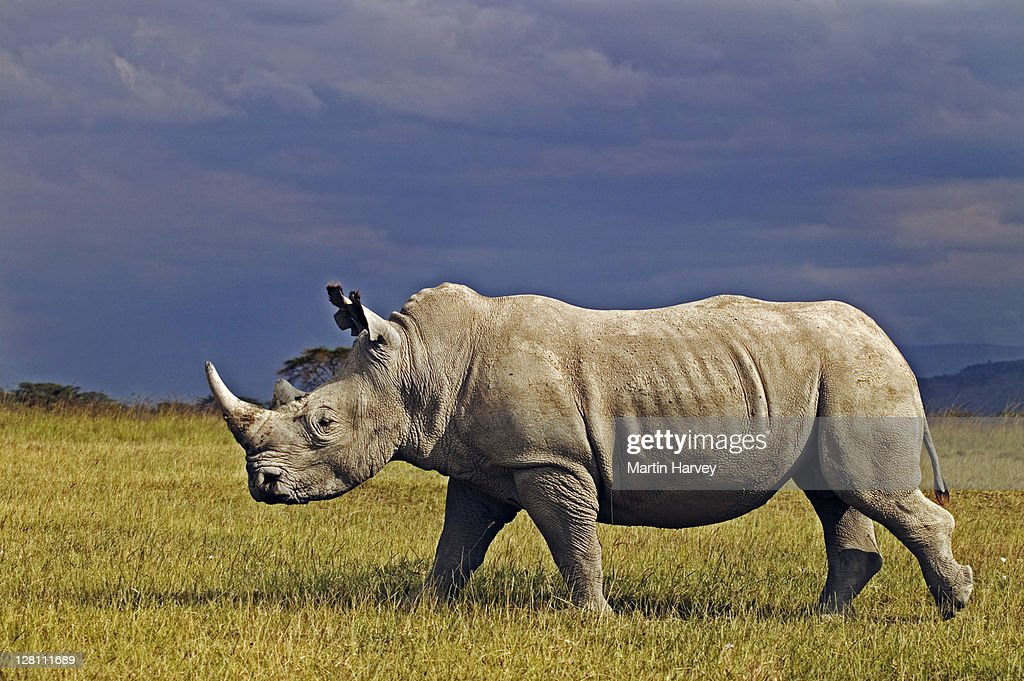 Adult Male White Rhino Ceratotherium Simum With Storm Clouds In The