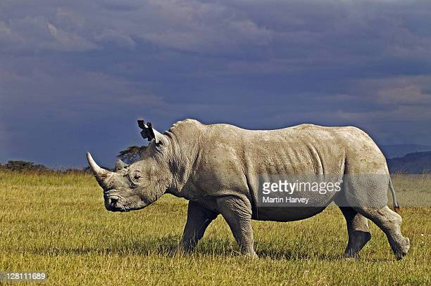 Adult male White Rhino, Ceratotherium simum, with storm clouds in the background. Lake Nakuru National Park Kenya. Dist. Localised: Southern and East Africa
