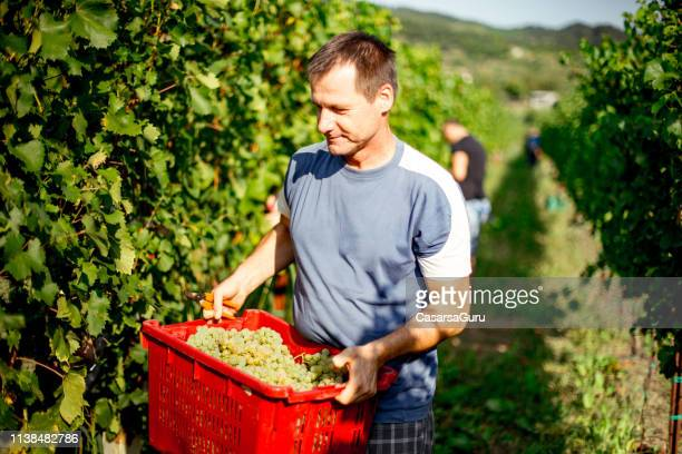 adult man carrying crate with harvested grape to relocate - grape harvest stock pictures, royalty-free photos & images