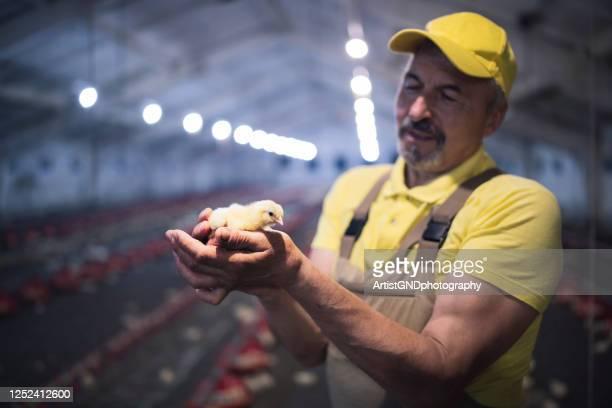 鶏の農場で赤ちゃんチキンを保持している大人の男. - 家禽 ストックフォトと画像