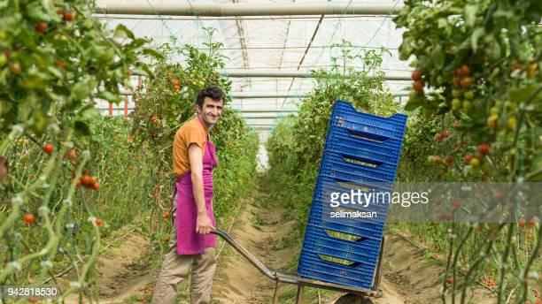 Adult Manual Worker In Tomato Greenhouse