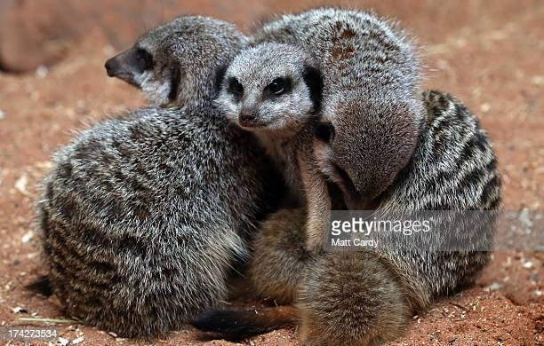Adult meerkats gather as the three recently arrived baby meerkats play in their enclosure at Bristol Zoo Garden on July 23 2013 in Bristol England...