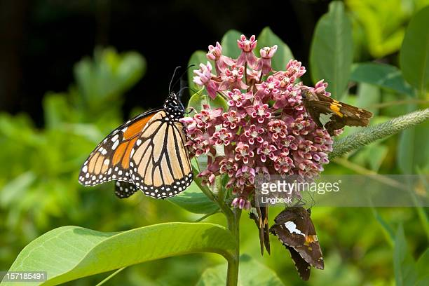adult monarch butterfly at shenandoah national park - skyline drive virginia stock photos and pictures