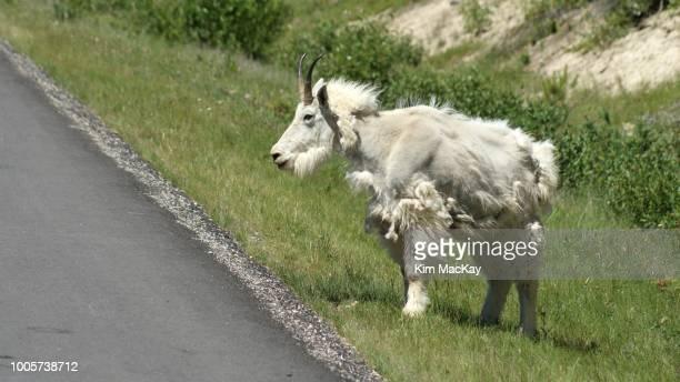 adult mountain goat, molting fur, in jasper, canada - mamífero fotografías e imágenes de stock
