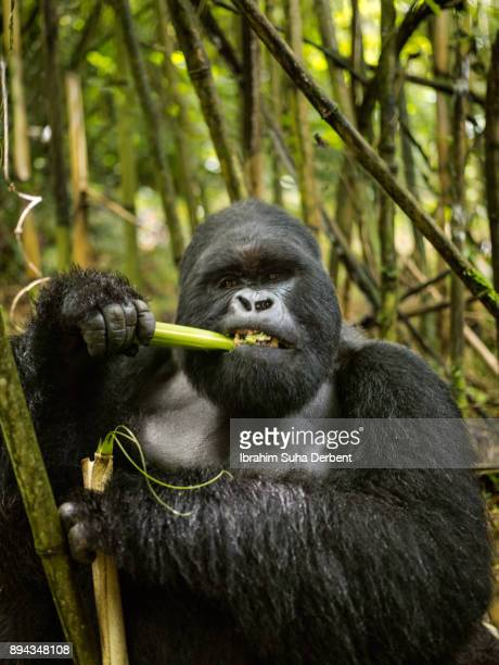 Adult mountain gorilla is eating bamboo