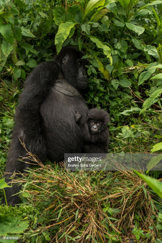 Adult Mountain Gorilla Is Leaning On A Bush And Her Baby ...