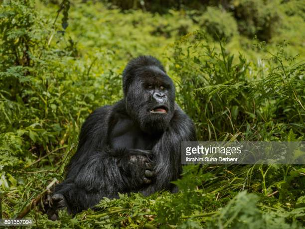 Adult mountain gorilla is sitting on leaves.