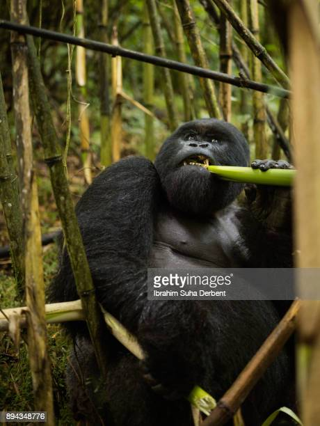 Adult mountain gorilla is watching the sky while eating bamboo.