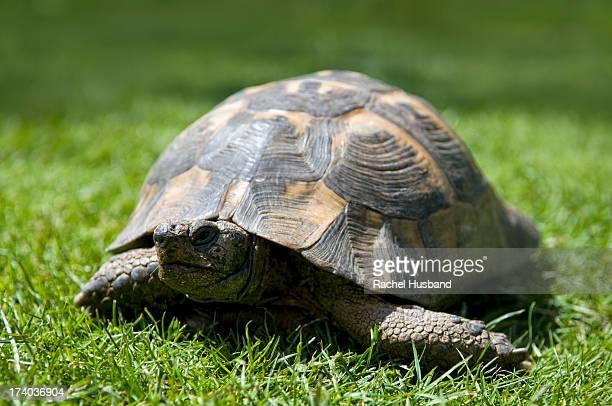 Adult pet tortoise in garden