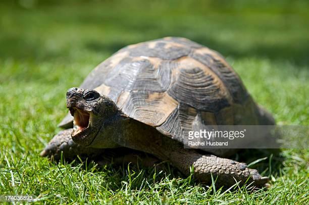 adult pet tortoise in garden with open mouth - ウェルシュプール ストックフォトと画像
