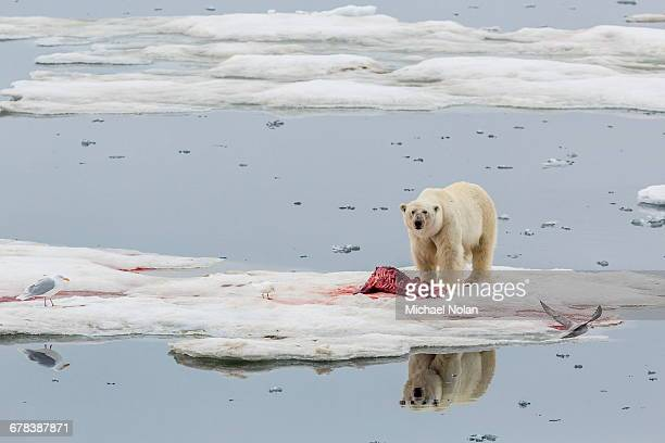 adult polar bear (ursus maritimus) on a seal kill in olgastretet off barentsoya, svalbard, norway, scandinavia, europe - dead body in water stock pictures, royalty-free photos & images