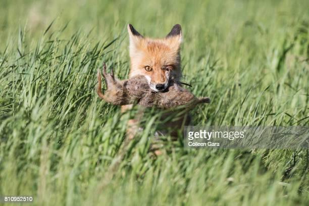 Adult Red Fox, vulpes vulpes, With Prey in Alberta Prairies