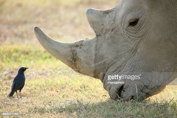 adult rhino - zoology stock pictures, royalty-free photos & images