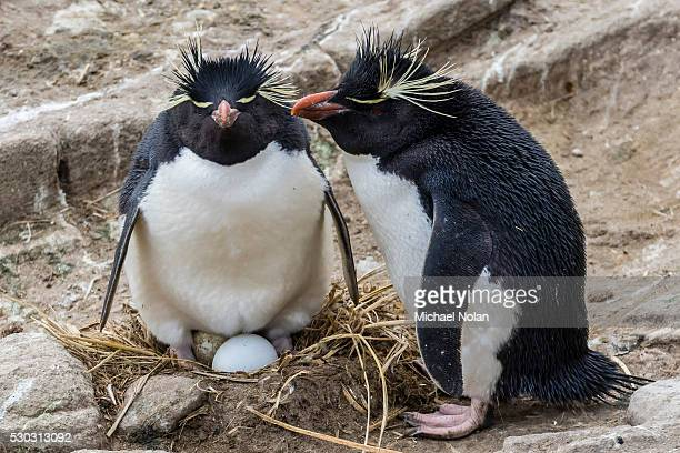 Adult rockhopper penguins (Eudyptes chrysocome) at nesting site on New Island, Falkland Islands, U.K. Overseas Protectorate, South America
