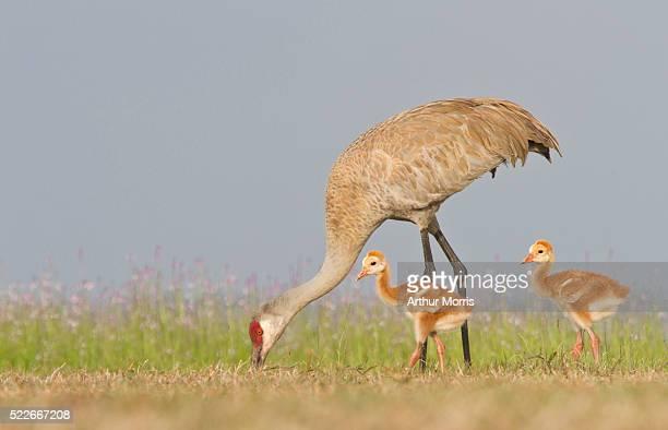 Adult sandhill crane with chicks