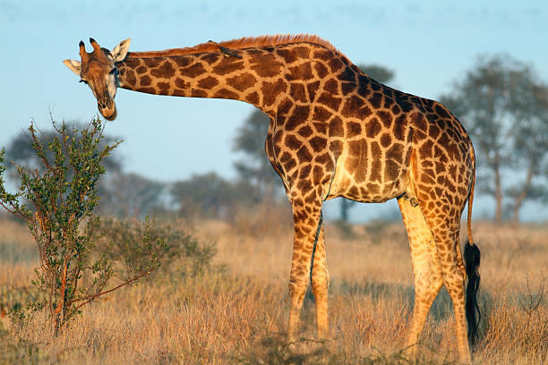 Adult Southern giraffe eating from a small shrub or tree