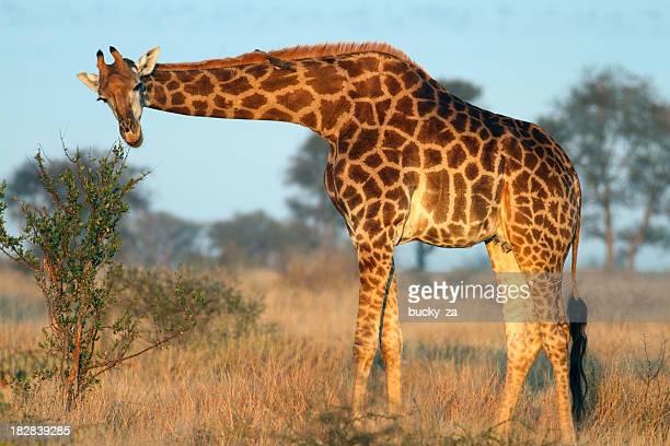 Adulto Southern Giraffa mangiare da un piccolo albero shrub o