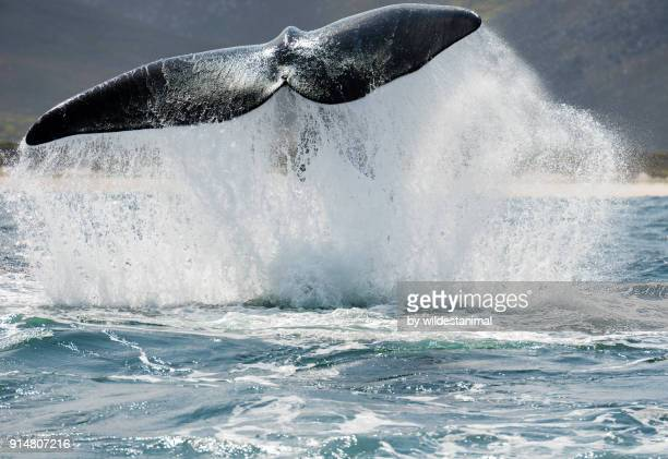 Adult southern right whale tail slapping(lobtailing) in Betty's Bay, South Africa.