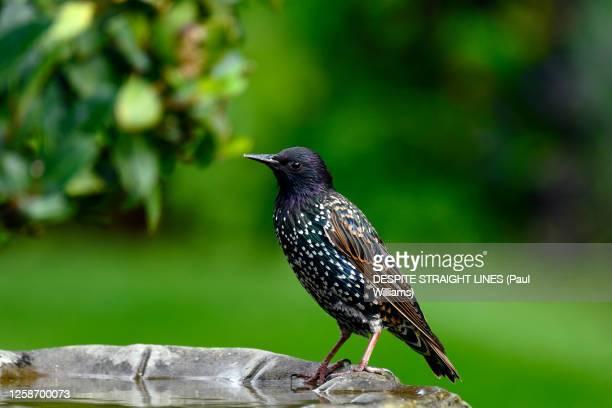 adult starling (sturnus vulgaris) - bird stock pictures, royalty-free photos & images