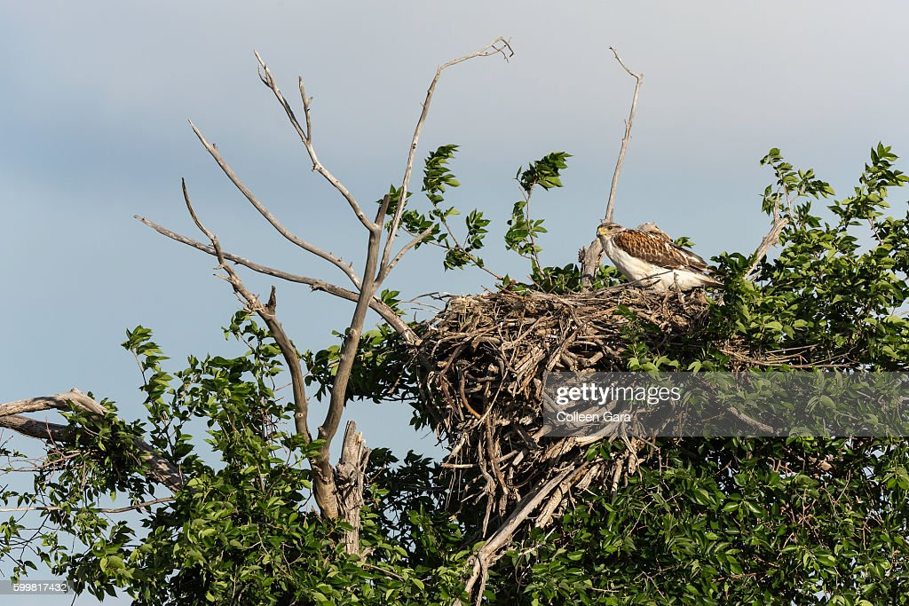 Adult Swainson's Hawk in Nest in the Canadian Prairies : Stock Photo